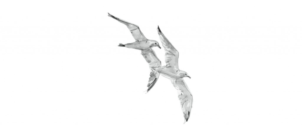 Quebert gulls